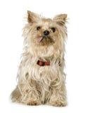 13 terrierår yorkshire Arkivfoto