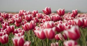 13 tulipan pola Obraz Stock