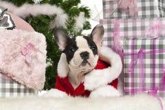 13 veckor för valp för bulldoggfransman liggande gammala Royaltyfria Bilder