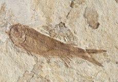 130million化石老年 免版税库存照片