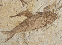130million-year-old fossil. 130-million-year-old lycopiera fish fossil Royalty Free Stock Photography