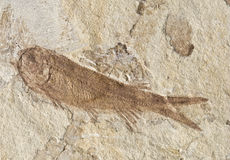 130million-year-old fossil. 130-million-year-old lycopiera fish fossil Royalty Free Stock Photos