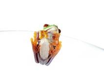 132) callidryas Rojo-observados de Agalychnis de la rana arbórea (, Fotos de archivo libres de regalías
