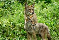 (1369) Kojoten Stockfotografie