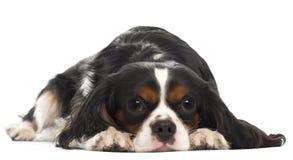 14个骑士查尔斯国王月西班牙猎狗 免版税库存图片