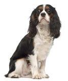 14个骑士查尔斯国王月西班牙猎狗 免版税图库摄影