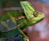 14变色蜥蜴 免版税库存图片