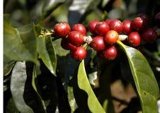 14咖啡危地马拉结构树 免版税库存图片