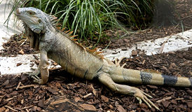 14绿色鬣鳞蜥 免版税库存图片