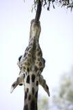 14长颈鹿 免版税库存图片