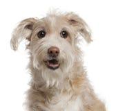 14 лет близких собаки breed смешанных старых поднимающих вверх Стоковые Фотографии RF