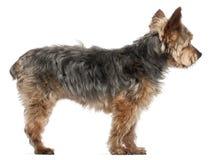 14 половинных старых лет yorkshire terrier Стоковая Фотография