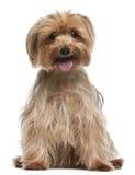 14 старых сидя лет yorkshire terrier Стоковые Фото