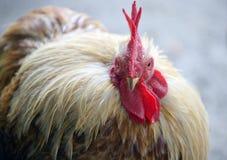 14 ярда цыплятины Стоковые Изображения RF