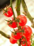 14蕃茄 库存图片