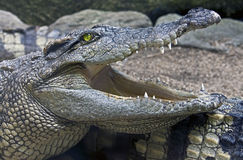14 crocodile Siam Photo stock