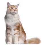 14 gammala kattcoonmaine månader Fotografering för Bildbyråer