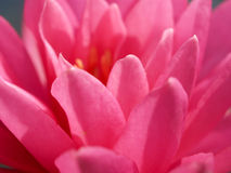 14 kwiat lotosu Zdjęcie Royalty Free