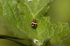 14 ladybird punkt Obrazy Stock