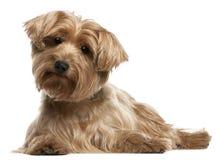 14 liggande gammala terrierår yorkshire Arkivfoto