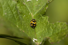 14 Spot Ladybird Stock Images