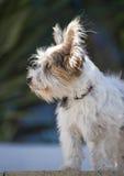 14 week oude Jack Russel Puppy Stock Foto