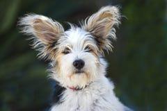 14 week oude Jack Russel Puppy Royalty-vrije Stock Foto's