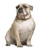 15个牛头犬英国月坐 免版税库存照片