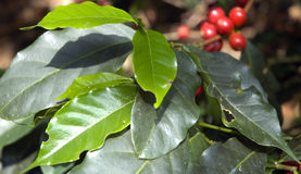 15咖啡危地马拉结构树 免版税库存图片