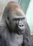 15大猩猩 免版税库存图片