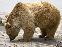 15头熊棕色叙利亚 免版税库存照片