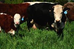 15头牛 免版税图库摄影