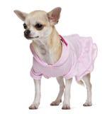 15奇瓦瓦狗穿戴了月 免版税库存照片