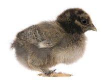 15小鸡日年纪身分 库存图片