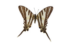 15棕色蝴蝶 免版税图库摄影