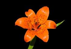 15种百合属植物百合pensylvanicum 图库摄影
