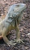 15绿色鬣鳞蜥 图库摄影