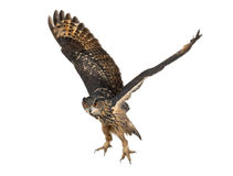 15腹股沟淋巴肿块老鹰欧亚老猫头鹰年 免版税库存照片