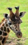 15长颈鹿 免版税库存照片