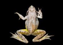 15青蛙 免版税库存照片