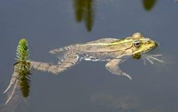 15青蛙 免版税库存图片