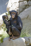 15黑猩猩 库存图片