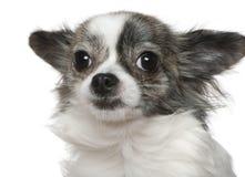 15 στενά μηνών chihuahua επάνω Στοκ Εικόνες