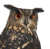 15 лет сыча орла bubo евроазиатских старых Стоковое Изображение