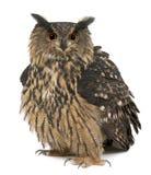 15 лет сыча орла bubo евроазиатских старых Стоковая Фотография