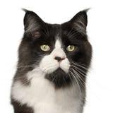 15 месяцев Мейна енота кота старых Стоковые Изображения RF