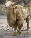 15 bactrian kamel Fotografering för Bildbyråer