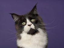 15 gammala kattcoonmaine månader Fotografering för Bildbyråer