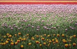 15 tulipan pola Obrazy Stock