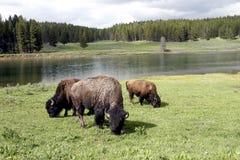 156 bisonte o Buffalo nella sosta nazionale del Yellowstone Fotografia Stock Libera da Diritti
